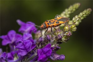 Cinnamon Bug + S. Lewington