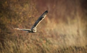 Short Eared Owl Hunting in Evening Light