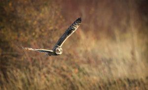 Short Eared Owl Hunting in Evening Light