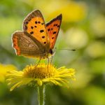 The Small Copper Butterfly by Steve Lewington