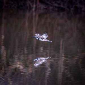 Pied kingfisher Under