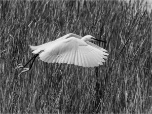 Little Egret taking flight
