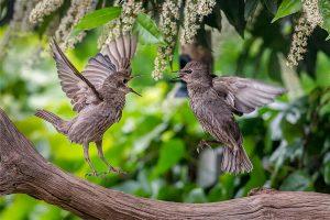 Fighting Juvenile Starlings + S.Lewington HY.21
