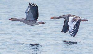 Gray Lag Goose + K Troughton