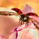 Ladybird Taking Flight