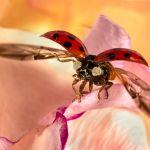 Ladybird Taking Flight